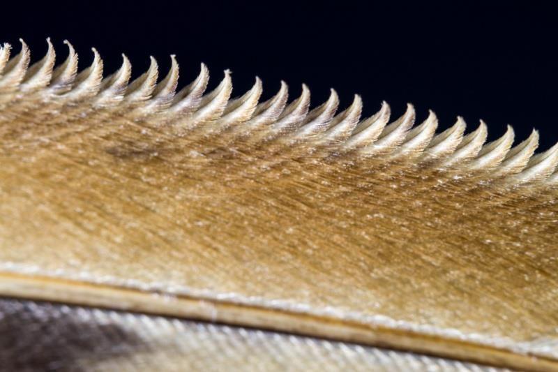 Les dentelures sur le bord des ailes de hibou leur permet un vol silencieux